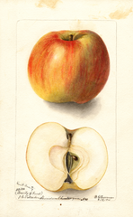 Apples, Kent Beauty (1901)