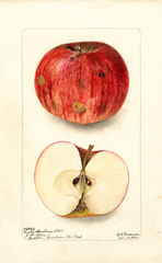 Apples, Kentucky Long Stem (1902)