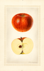 Apples, Kentucky Long Stem (1925)