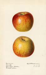 Apples, Linville (1918)
