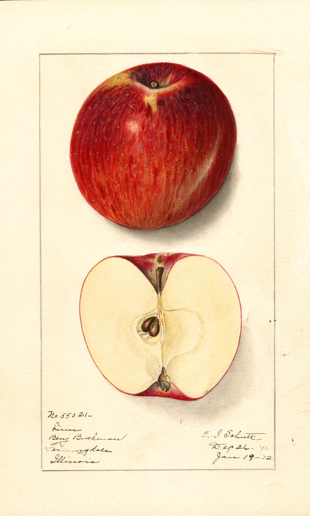 Apples, Linn (1912)