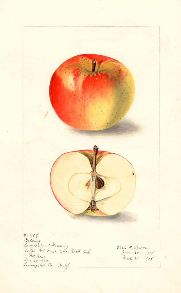 Apples, Long Island Greening (1908)