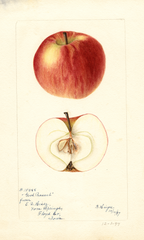 Apples, Good Peasant (1897)
