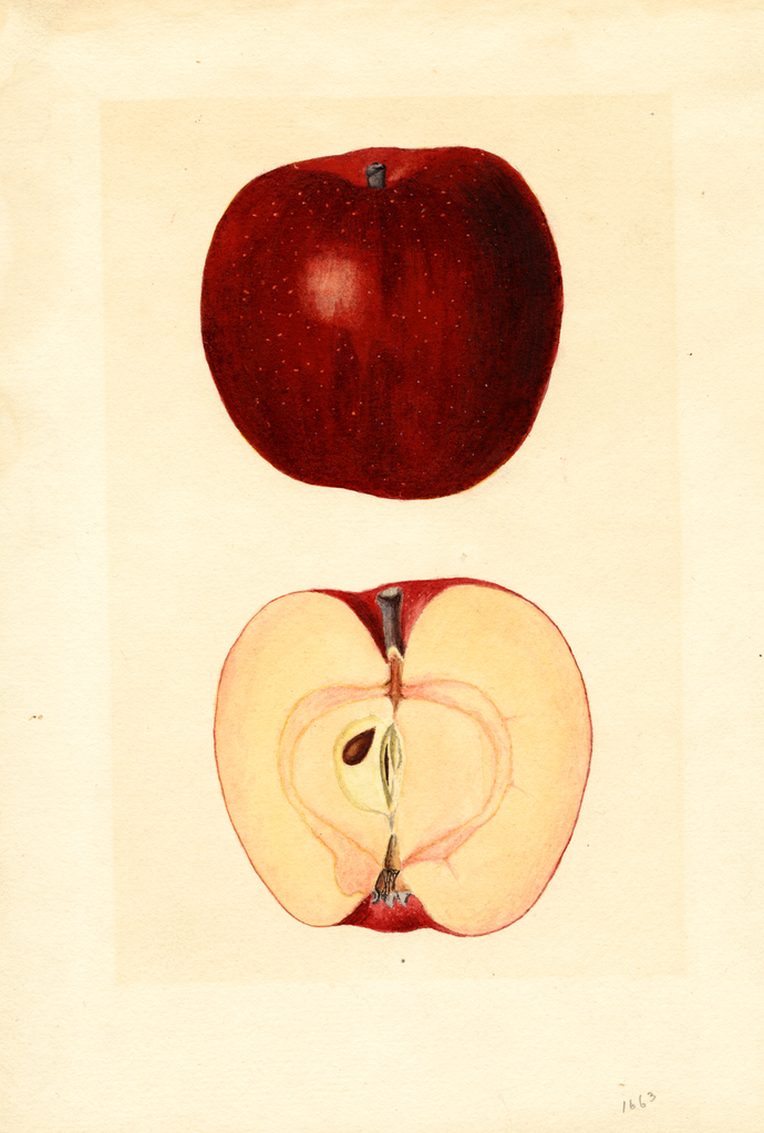 Apples, Goodenough Red Spitz (1935)