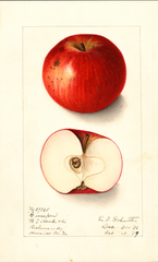 Apples, Goosepen (1907)