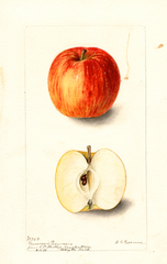 Apples, Grammars Pearmain (1899)