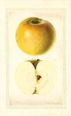 Apples, Granny Smith (1927)