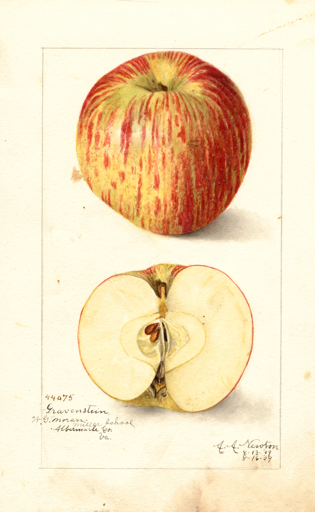 Apples, Gravenstein (1909)