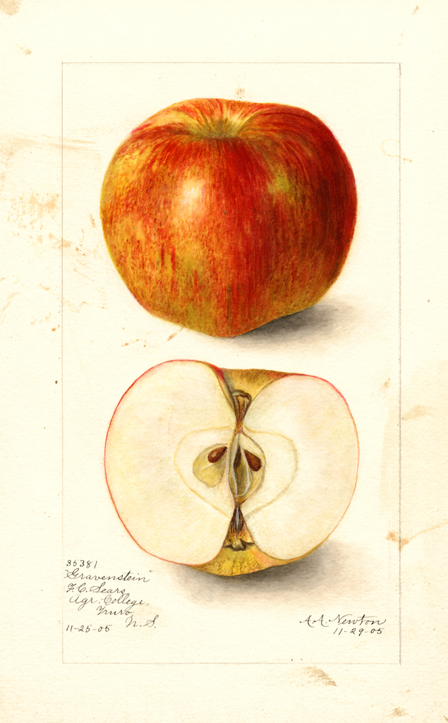 Apples, Gravenstein (1905)