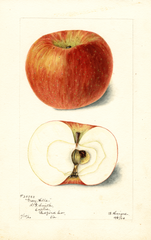 Apples, Gray Hills (1900)