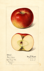 Apples, Great Barbe (1916)