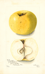 Apples, Golden Bell (1903)