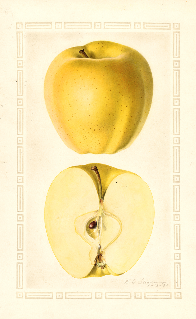 Apples, Golden Delicious (1930)