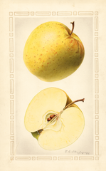 Apples, Golden Delicious (1922)