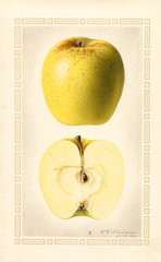 Apples, Golden Delicious (1923)