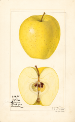 Apples, Golden Delicious (1920)