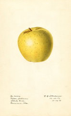 Apples, Golden Delicious (1917)