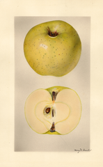 Apples, Golden Medal (1927)