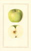 Apples, Golden Noble (1928)