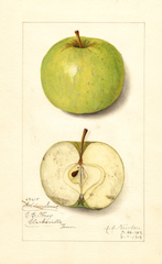 Apples, Golden Sweet (1913)