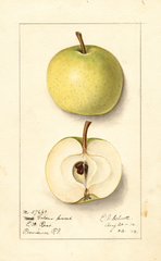 Apples, Golden Sweet (1912)