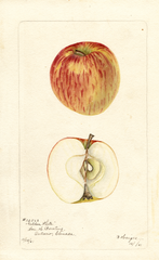 Apples, Golden White (1901)