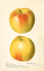 Apples, Golden Winesap (1918)