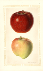 Apples, Starking (1925)