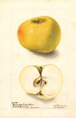 Apples, Devonshire Golden Ball (1901)
