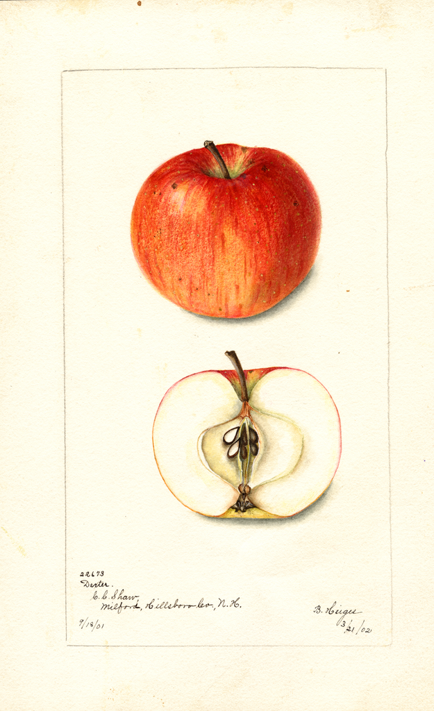 Apples, Dexter (1902)