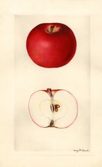 Apples, Diana (1930)