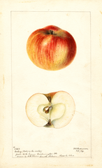 Apples, Dickey (1896)