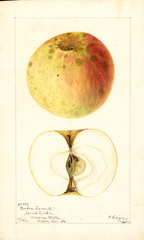 Apples, Dickies Favorite (1901)