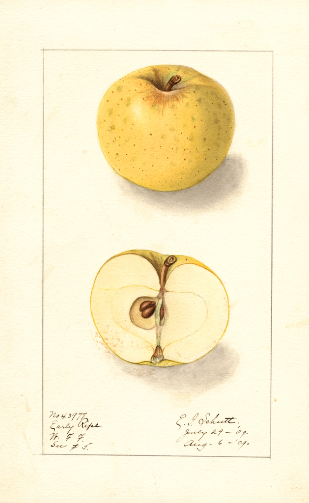 Apples, Early Ripe (1909)
