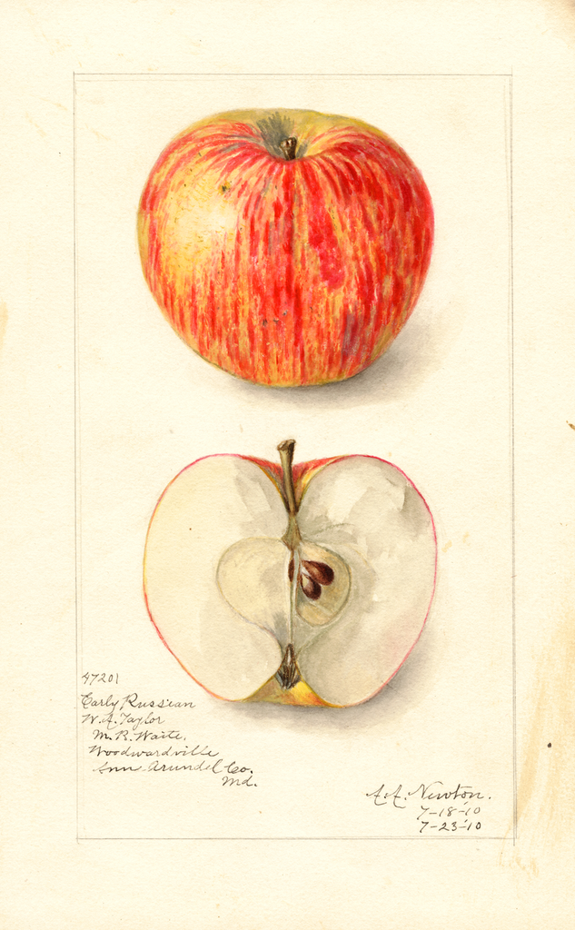 Apples, Early Russian (1910)