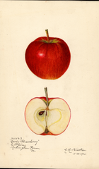 Apples, Early Strawberry (1920)