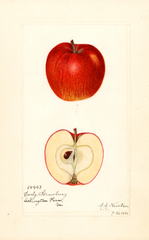 Apples, Early Strawberry (1921)