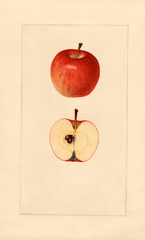 Apples, Early Strawberry (1925)