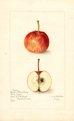 Apples, Early Strawberry (1905)