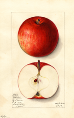 Apples, Eastman (1912)