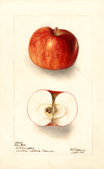 Apples, Edge Hill (1908)