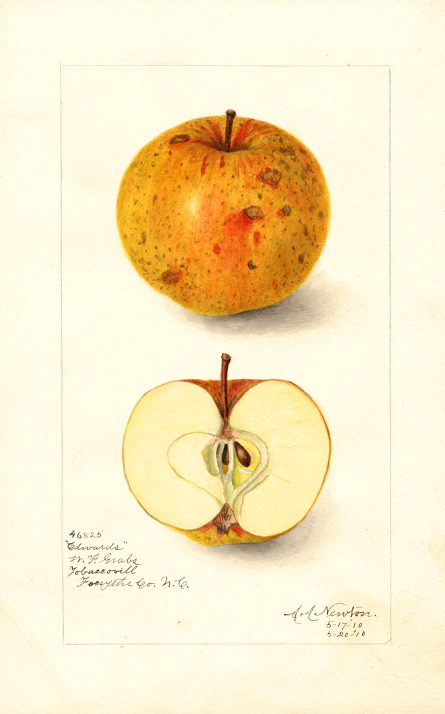 Apples, Edwards (1910)
