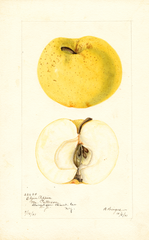 Apples, Elgin Pippin (1901)