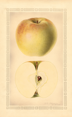 Apples, Elston Sweet (1928)
