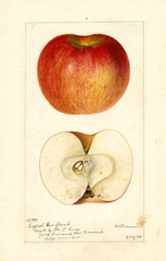 Apples, English Red Streak (1895)