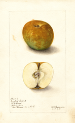 Apples, English Russet (1905)