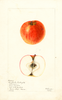 Apples, Englische Wintergold Parmane (1901)