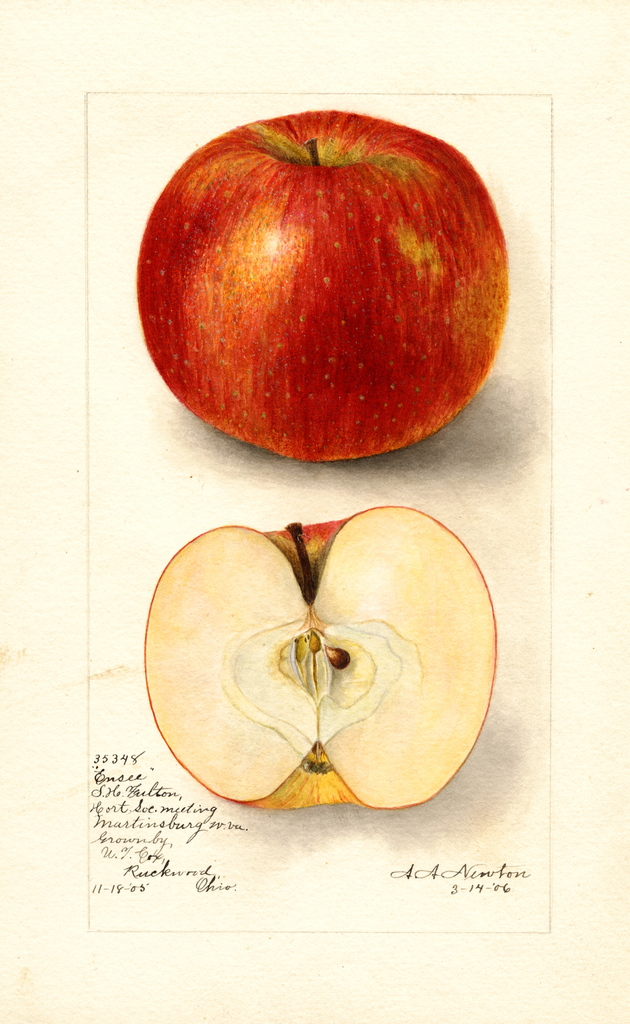 Apples, Ensee (1906)