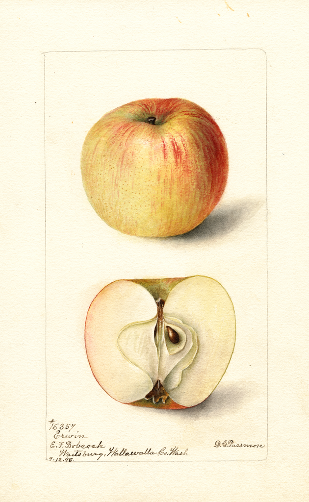 Apples, Erwin (1898)