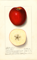 Apples, Spitz Esopus (1912)